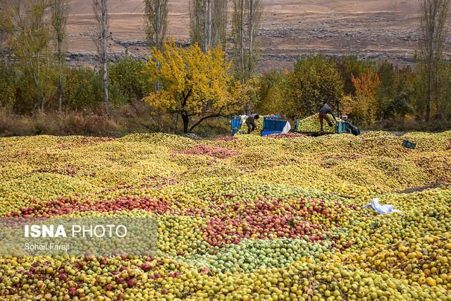 هشترود قابلیت تبدیل شدن به قطب سیب کشور را دارد