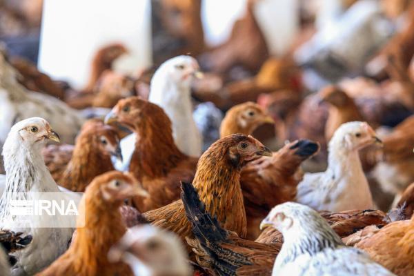 خبرنگاران کانون آنفلوانزای فوق حاد پرندگان در خرم آباد شناسایی شد
